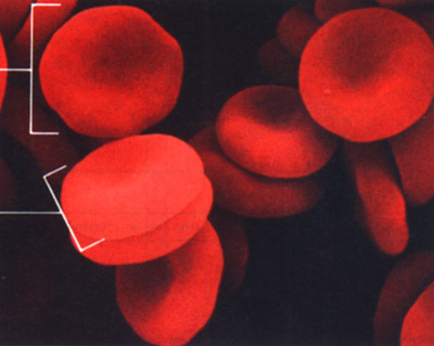 magnified blood cells