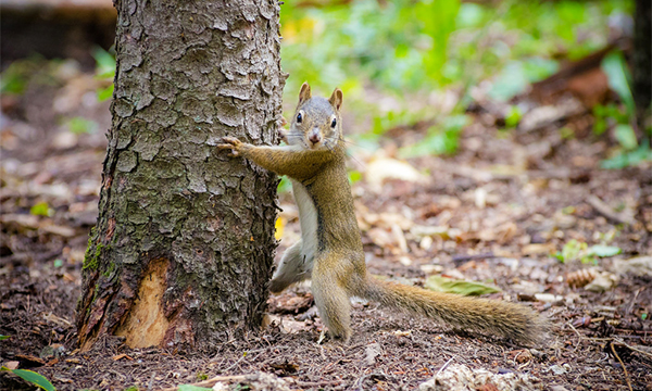 tree hugger squirrel - forest management