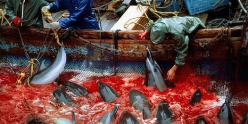 Dolphin Massacre in Japan