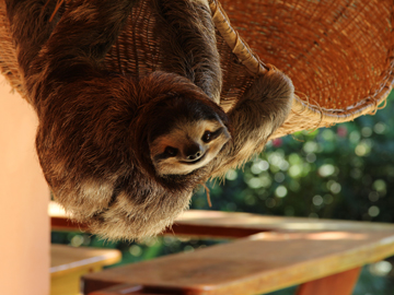 How can you not love this face? Buttercup the sloth of Meet The Sloths TV series