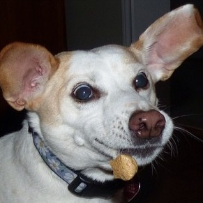 Dog making funny face while catching a cookie