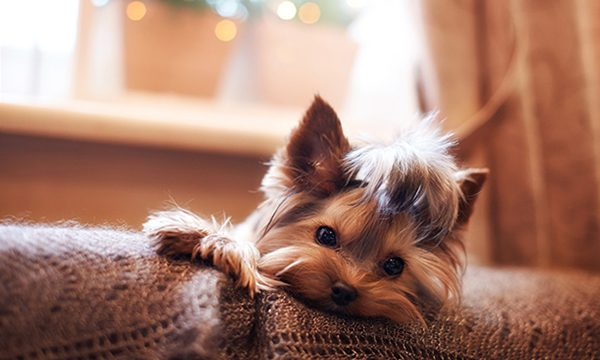 Pet Friendly Yorkshire Terrier Dog
