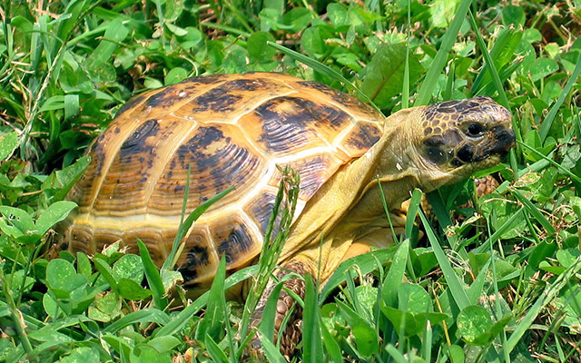 pets reptiles russian tortoise