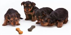 yorkshire terrier puppies - dog treats for dogs
