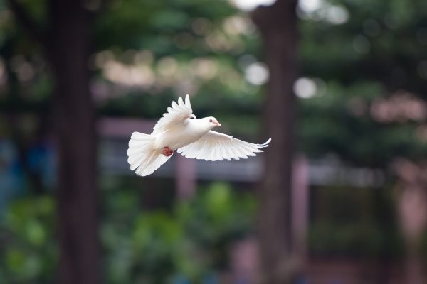 White dove in flight with blurred background